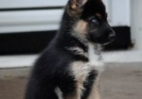 german shepherd husky mix