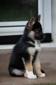 Gerberian skepsky puppy